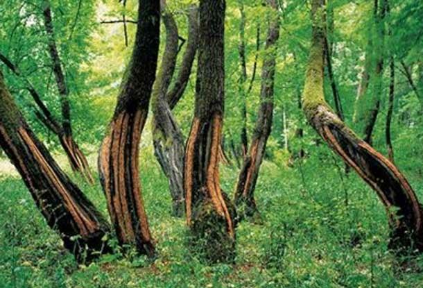 Köyceğiz Sığla Ağacı Endemik Tür
