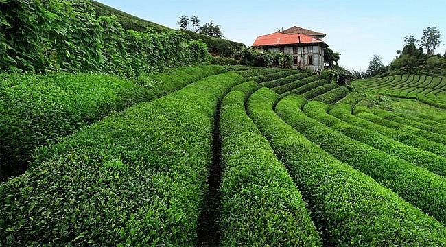 Dünyanın En Çok Çay Üreten Ülke Sıralaması