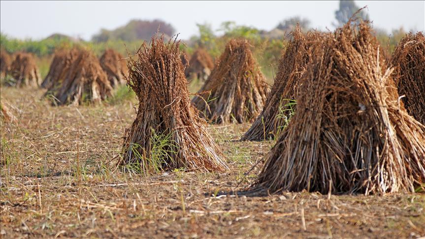 Tarım Ülkesi: Nijerya Hindistan Konu Anlatımları