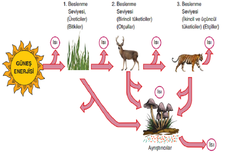 Ekosistemlerde Enerji Akışı ve Besin Zinciri